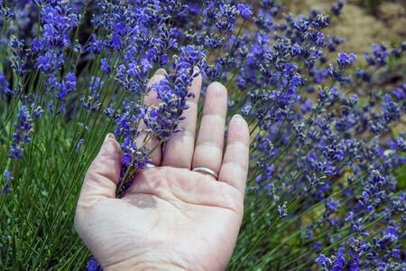 Caucasian female hand touches flowering lavender bush. Concept of respect for nature, environment. Close up.