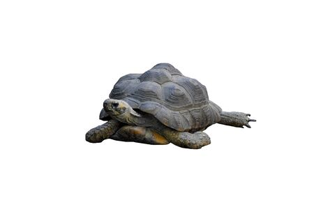Land big turtle isolated on white background, wildlife, reptile. Hallmark of turtles is carapace, which serves as main defense against enemies. Banco de Imagens