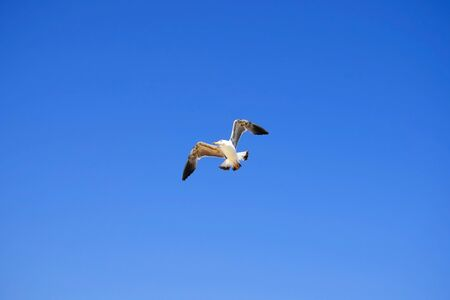 Large white seagull is flying in crystal blue sky. Serenity of wildlife. Close-up. Selective focus. Copy space. Banco de Imagens
