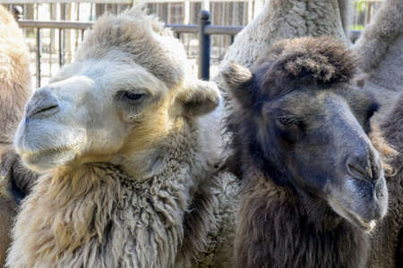 Two black and white camels, next to each other, look in different directions. Close-up. Selective focus. 免版税图像