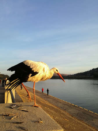Alone stork stands on pedestal on one leg with its wing down. Remains of small fish are thrown under his feet. Sunset, blue sky, river, people walking along embankment. Selective focus. Copy space.
