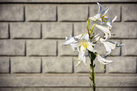 Beautiful white Lily flowers on background of gray stone fence. White Lily- Symbol of virtue. Selective focus. Close-up. Copy space.