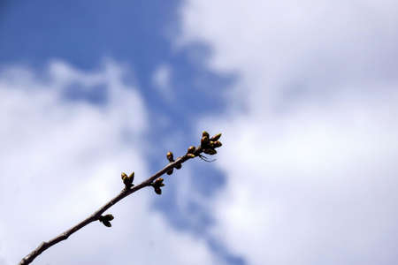 One cherry branch with swollen buds against cloudy sky. Fruit trees in orchard in early spring. Beginning of juice movement on plants in garden. Preparing buds to bloom. Selective focus.