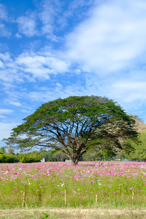 korat: Among the trees of the field Cosmos with blue sky.