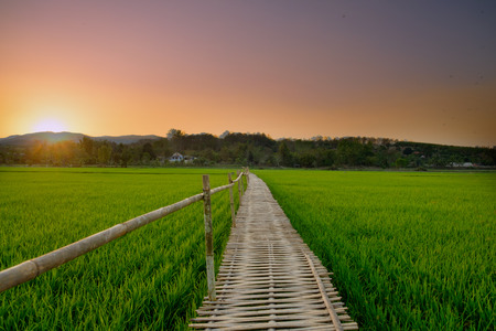 green fields: Bridge made of bamboo a long way in green rice paddy fields.
