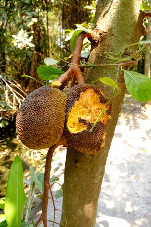 flesh eating animal: Jackfruit cooked on a jackfruit tree squirrel was eating.