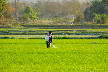 pesticides: A farmers work in the paddy field using knapsack sprayer machine to spray fertilizer for Nourishing rice yield