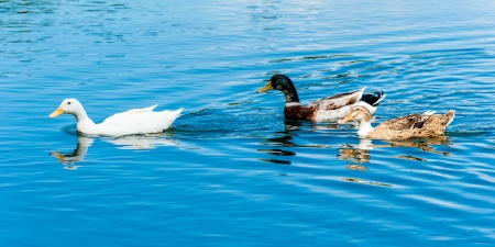 Ducks on the blue water photo