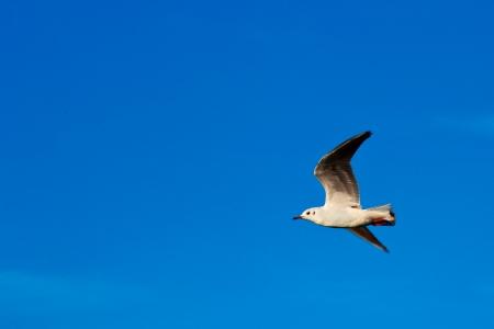 Gull in flight on blue sky  photo