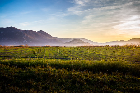 fertile land: Fertile land with many young olive trees at sunset in southern Croatia Stock Photo
