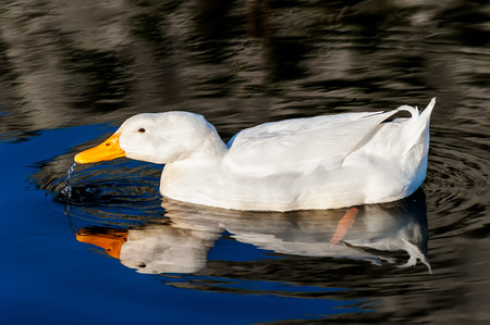 White duck on blue water lake photo