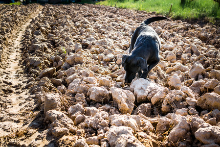 sniffing: Black Labrador dog on plowed field sniffing Stock Photo