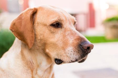 looking into: Labrador dog looking into distance