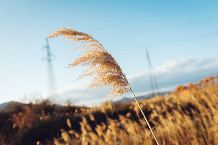 sways: Dried overgrown sedge sways in the wind in autumn Stock Photo
