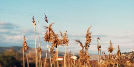 Dried overgrown sedge sways in the wind in autumn Stock Photo