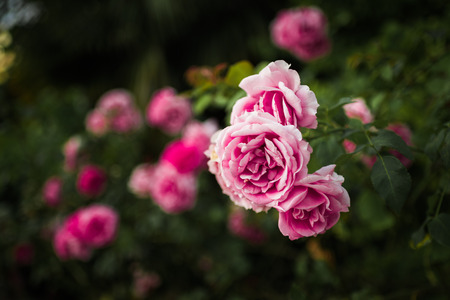 Pink roses in green garden Stock Photo