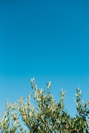 Olive tree branches with clear blue sky in the background