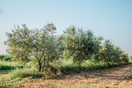 Olive tree in the olive garden in Mediterranean Stock Photo