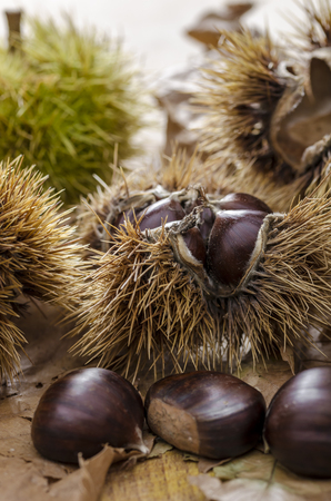 Still life with mature chestnuts. autumn feeling.