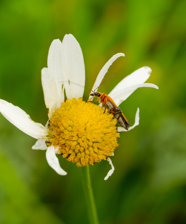 longhorn beetle: longhorn beetle