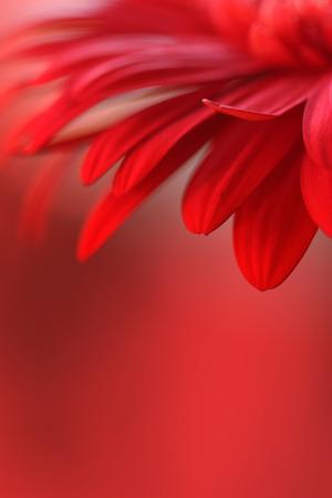 flower head: red flower background