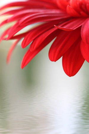 Closeup of red flower with water photo