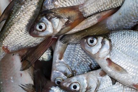 rutilus rutilus: fish background