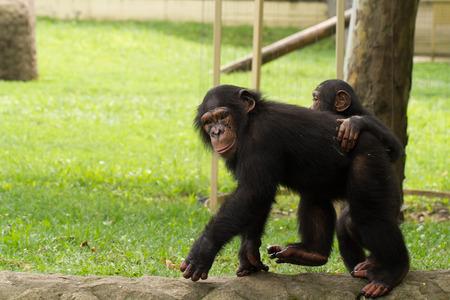 A wildlife shot of chimpanzees in captivity photo