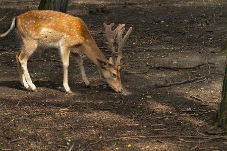 dappled: sika deer