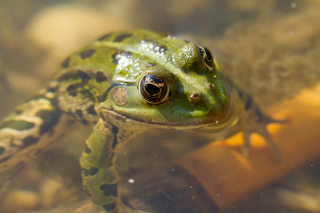 hydrobiology: frog in water