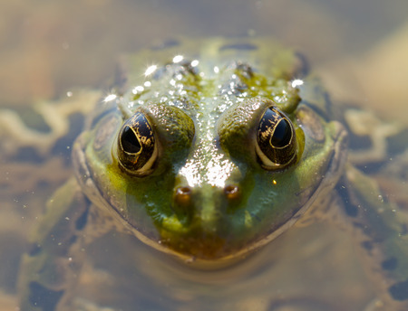 hydrobiology: frog close up