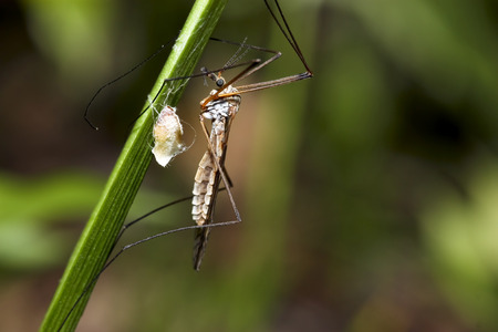 tipulidae: Mosquito an green grass