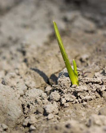 young green plant growing out of brown soil. photo