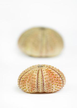 pilluelo: erizo de mar en blanco Foto de archivo