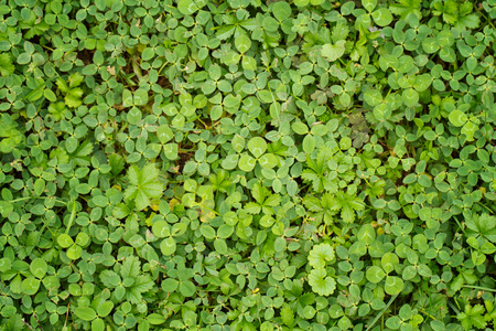 fortunateness: leaf clover background