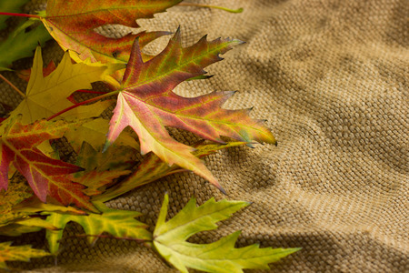 maple leaves photo