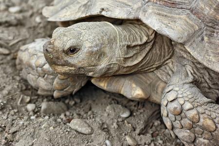 centenarian: tortuga en la arena Foto de archivo