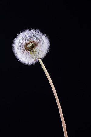 Dandelion on a black background photo