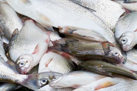 rutilus rutilus: Fresh fish background