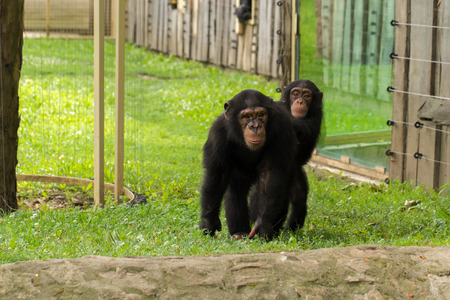 chimpances: Una foto de la fauna de los chimpancés en cautiverio