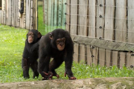 chimpances: Una foto de la fauna de los chimpanc�s en cautiverio