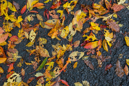 Autumn red and yellow wet leaves on asphalt sidewalk