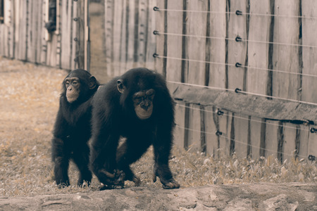 anthropoid: A wildlife shot of chimpanzees in captivity