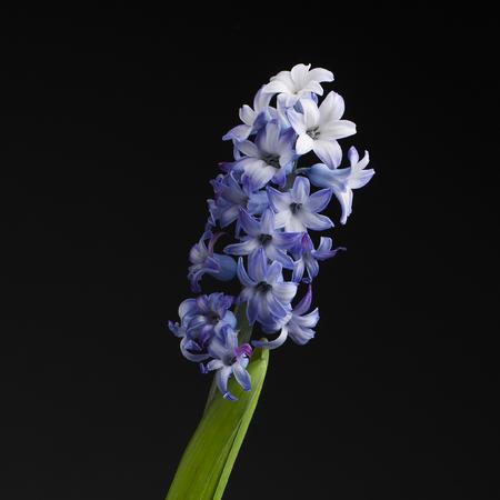 Hyacinth on black background