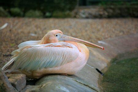 beautiful pelican in the park 版權商用圖片