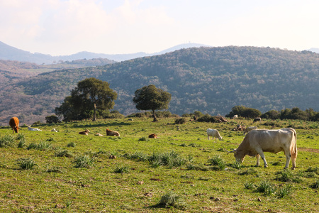 Landscape with cows that eating and rest. Archivio Fotografico - 120424834
