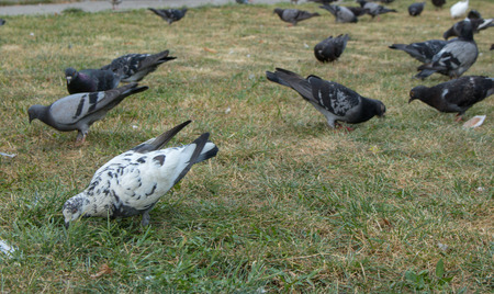 Pigeons flying and walking. Stock Photo