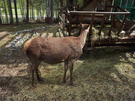 Wild deer standing sideways by the pasture