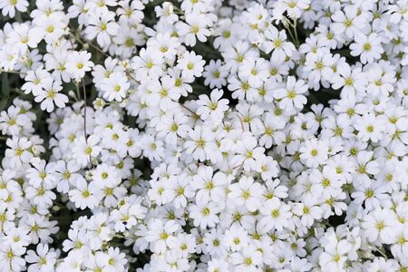 Background made with many white and yellow spring flowers on a sunny day
