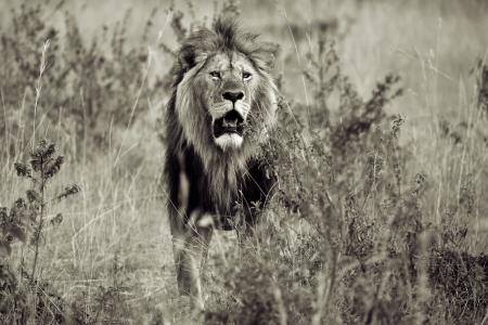 observes: Male lion observes carefully his kingdom